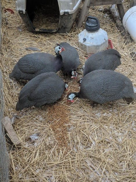 guinea fowl eating