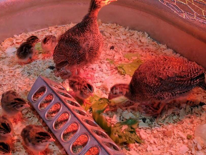 guinea chicks feeding