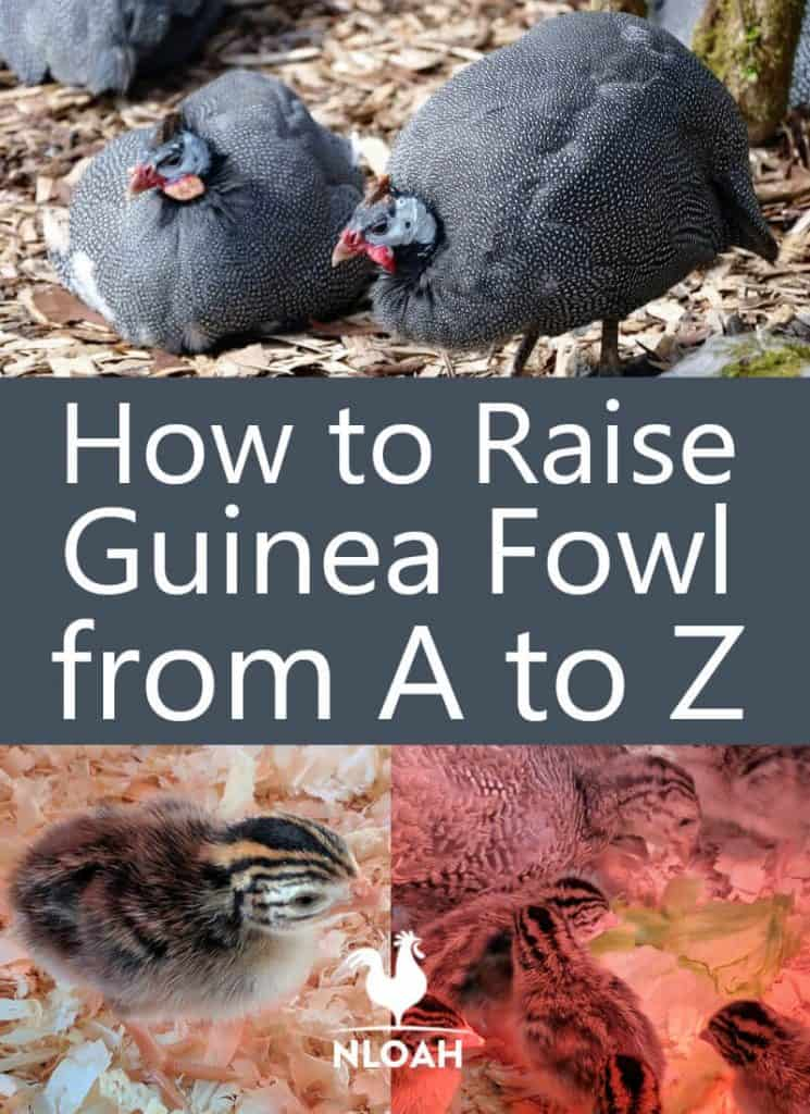 raising guinea fowl pinterest