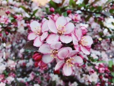 pink spires crabapple flowers