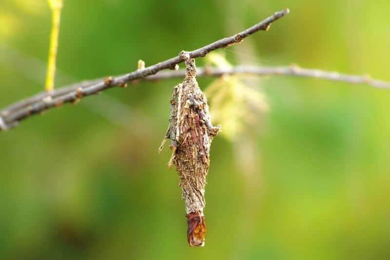 bagworm larva