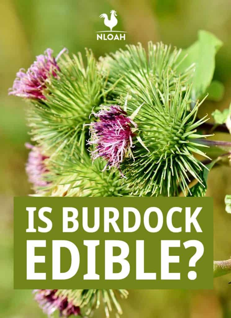 burdock edible pinterest