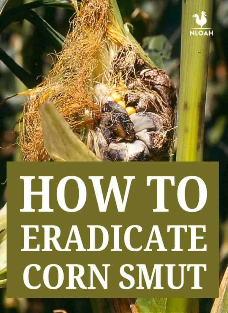 eradicate corn smut pinterest