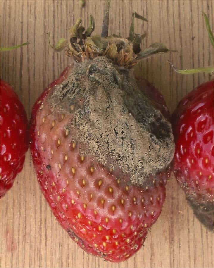 gray mold on strawberry