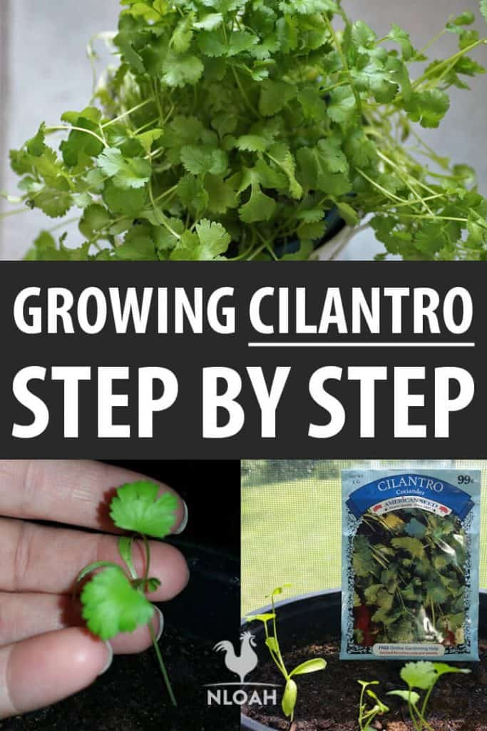 growing cilantro pinterest