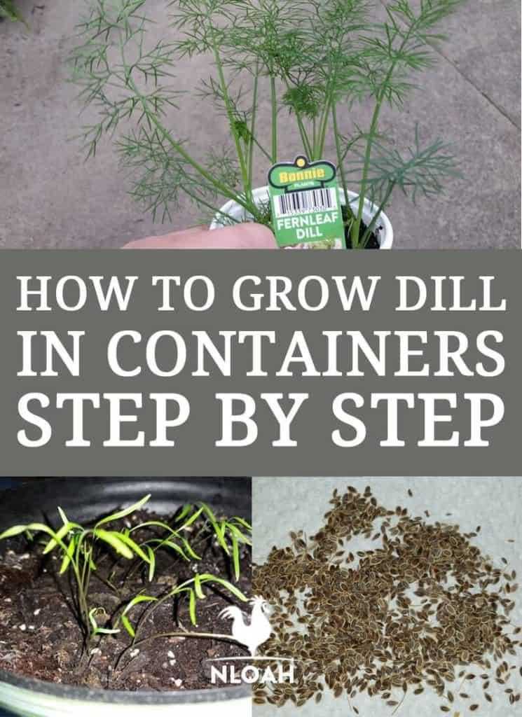 growing dill pinterest
