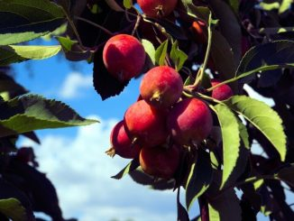 north american crabapples