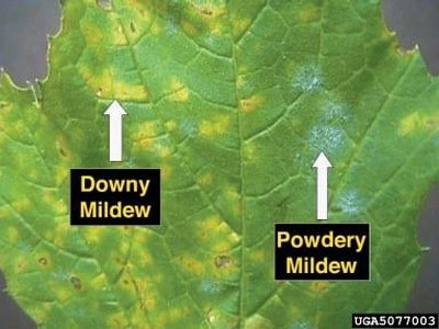 powdery vs downy mildew