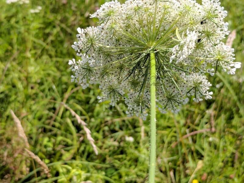 Underside of Queen Anne's Lace