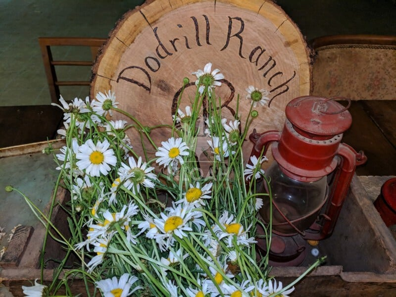 daisies hang drying