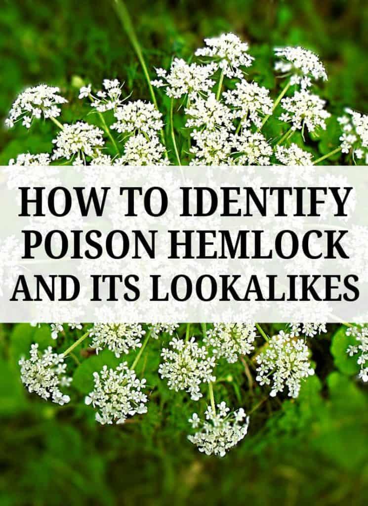 poison hemlock pinterest