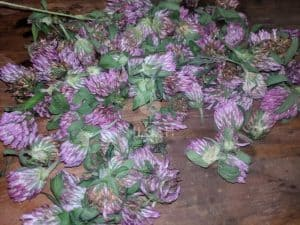Freshly-picked red clover air drying
