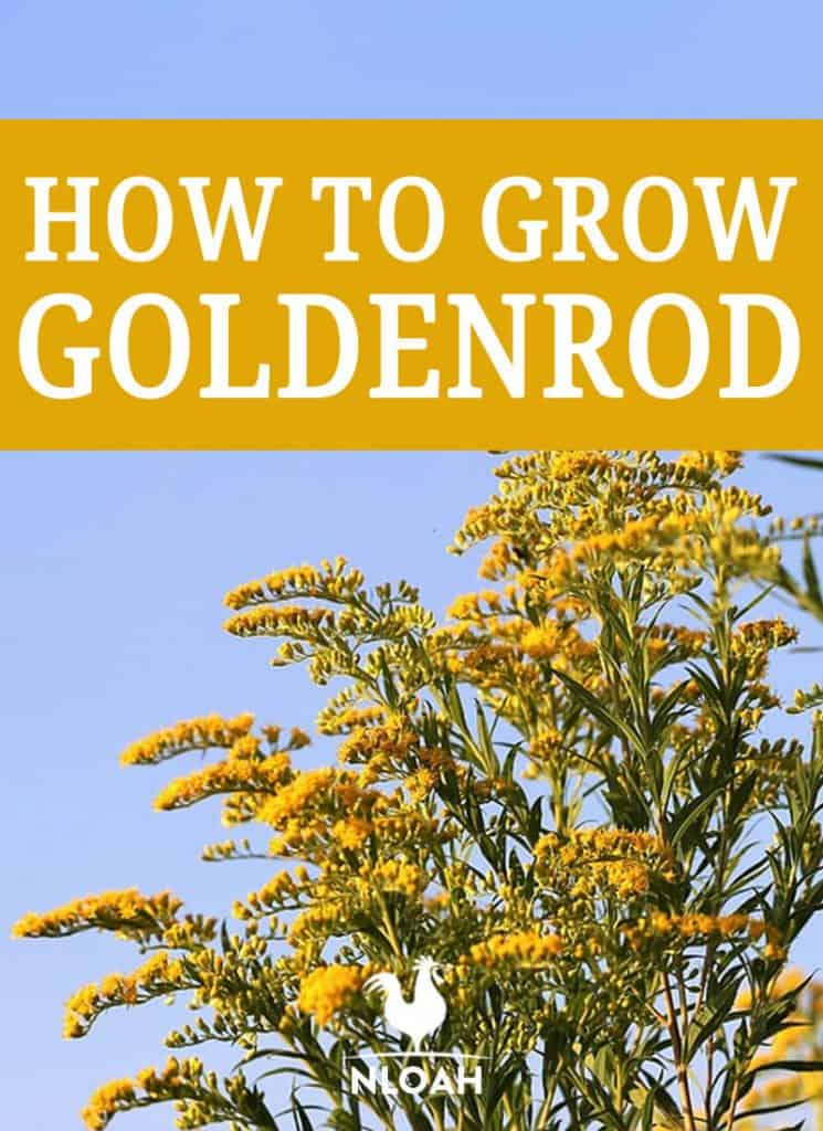 growing goldenrod pin
