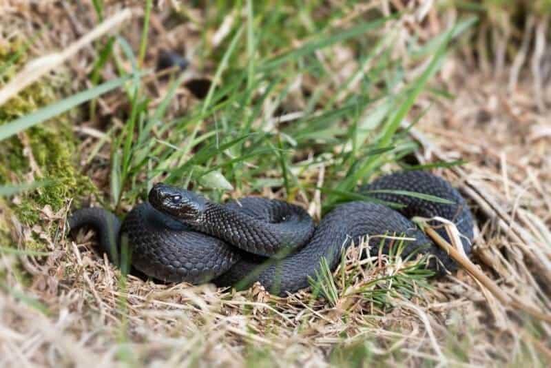 hell notter snake