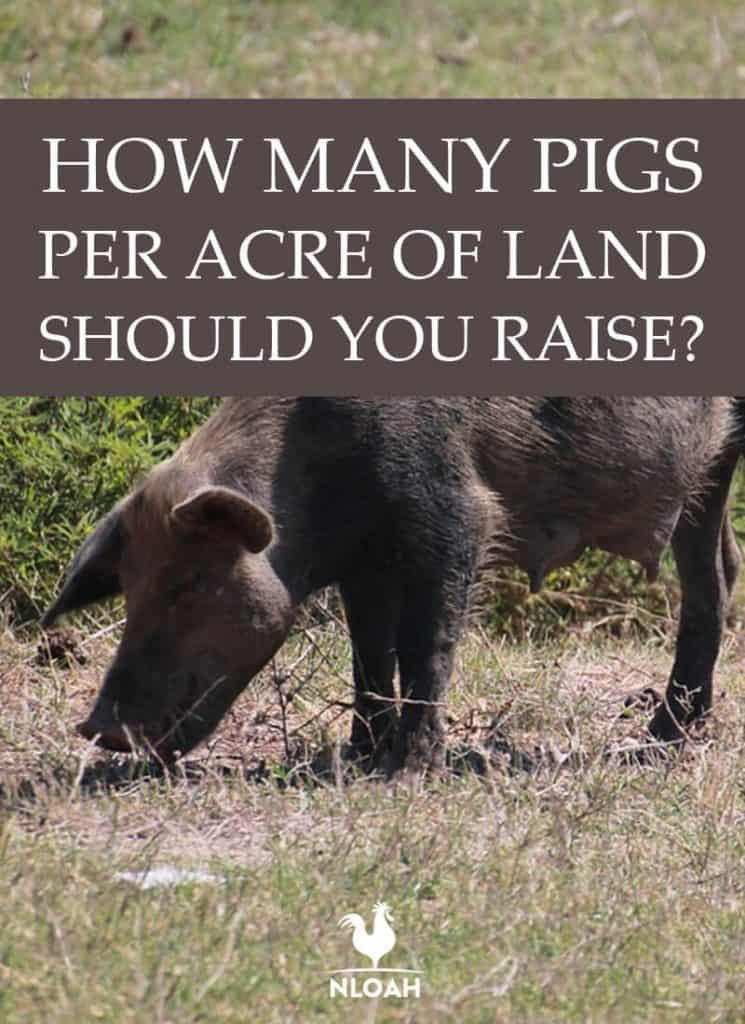 how many pigs pinterest