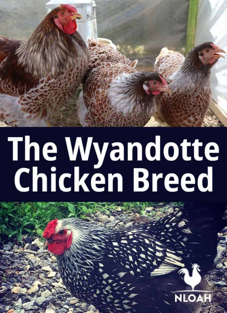 Wyandotte_ chicken breed pinterest