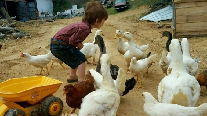 child playing with chickens and ducks