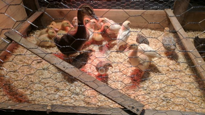 duckling and baby chicks in incubator