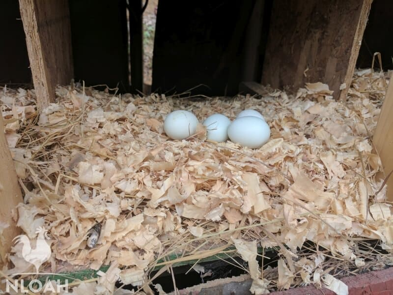 bantam chicken eggs