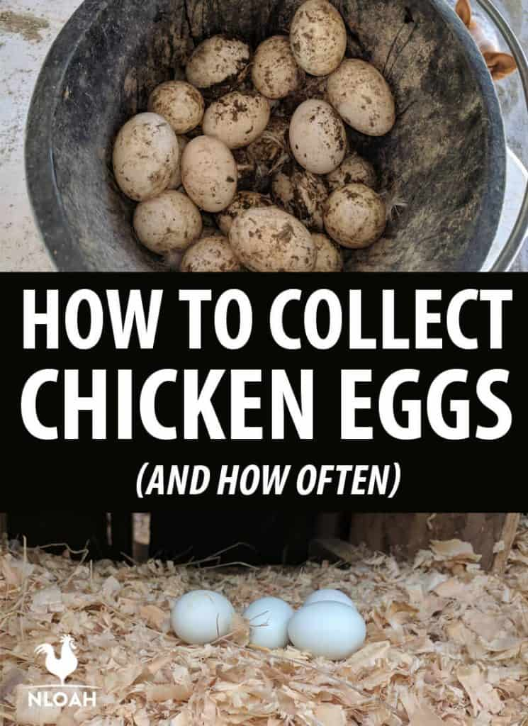 collecting chicken eggs Pinterest image