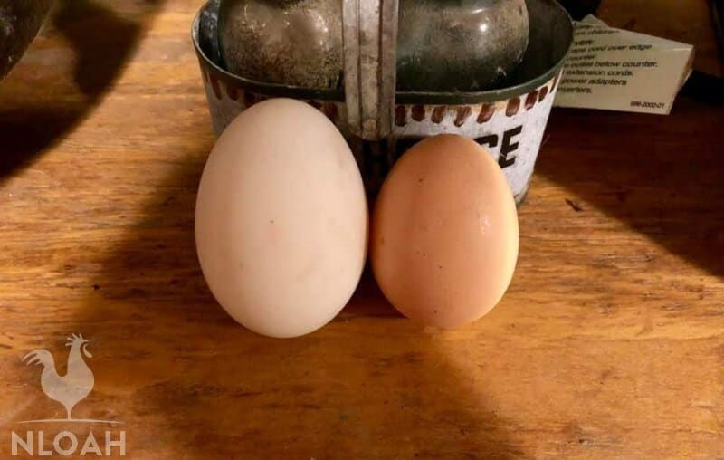 duck egg on the left and chicken egg on the right