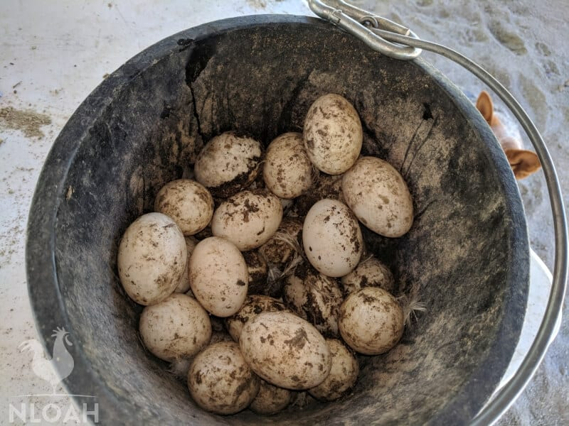 freshly collected yet dirty eggs