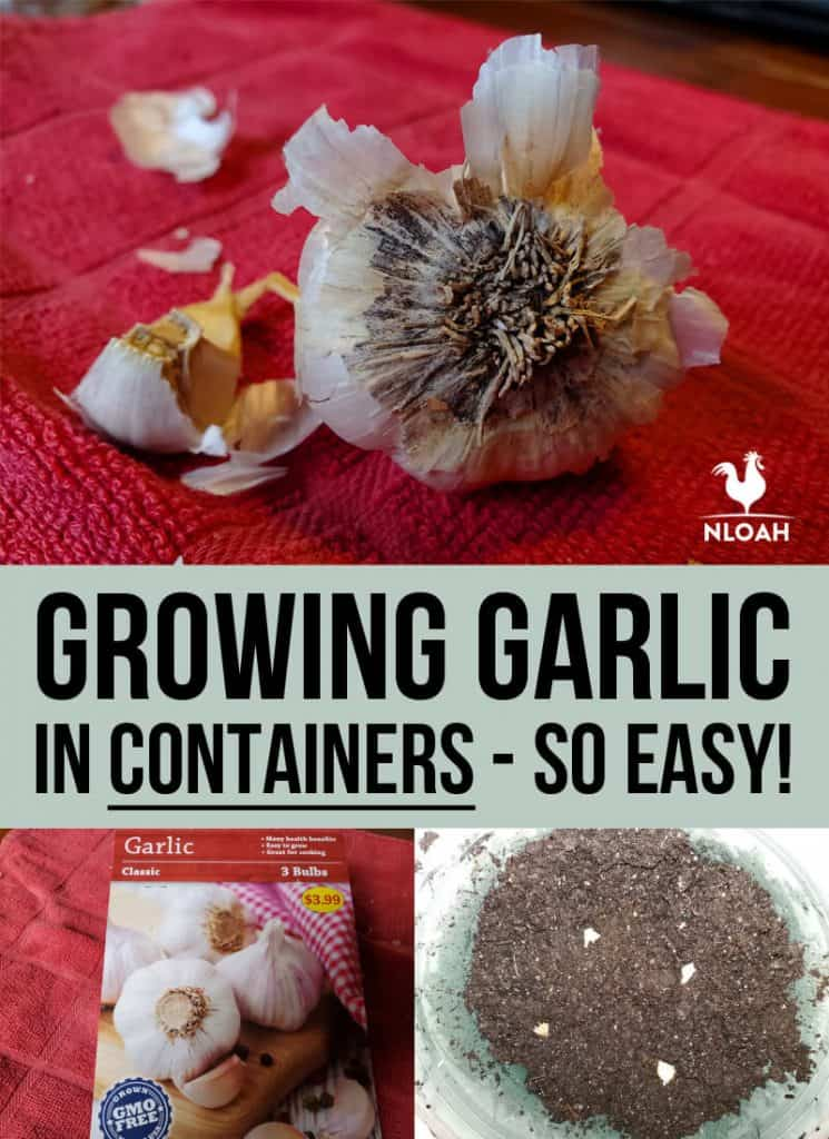 growing garlic Pinterest image