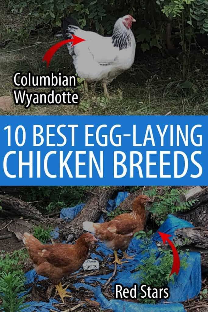 egg laying chicken breeds Pinterest image