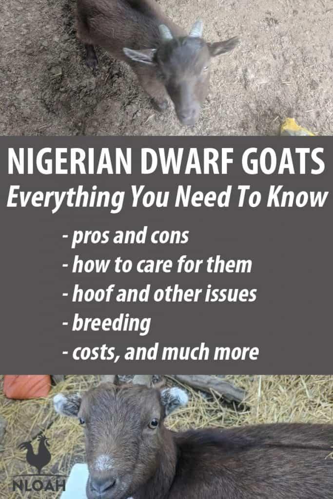 nigerian dwarf goats pinterest