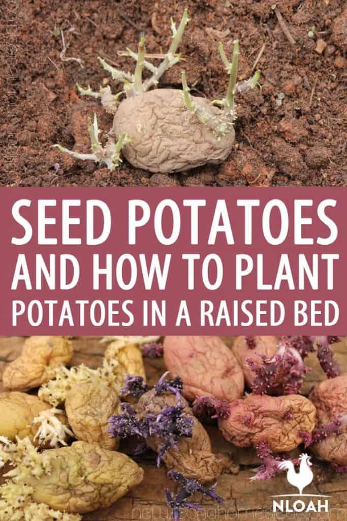 raised bed potatoes Pinterest image
