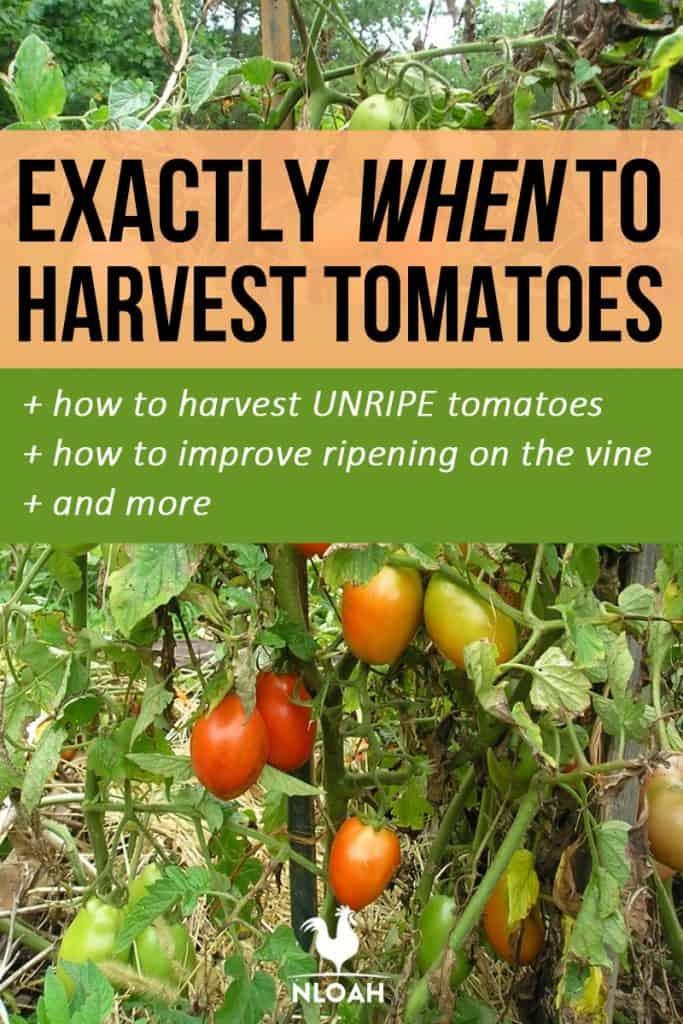 tomato harvesting pinterest