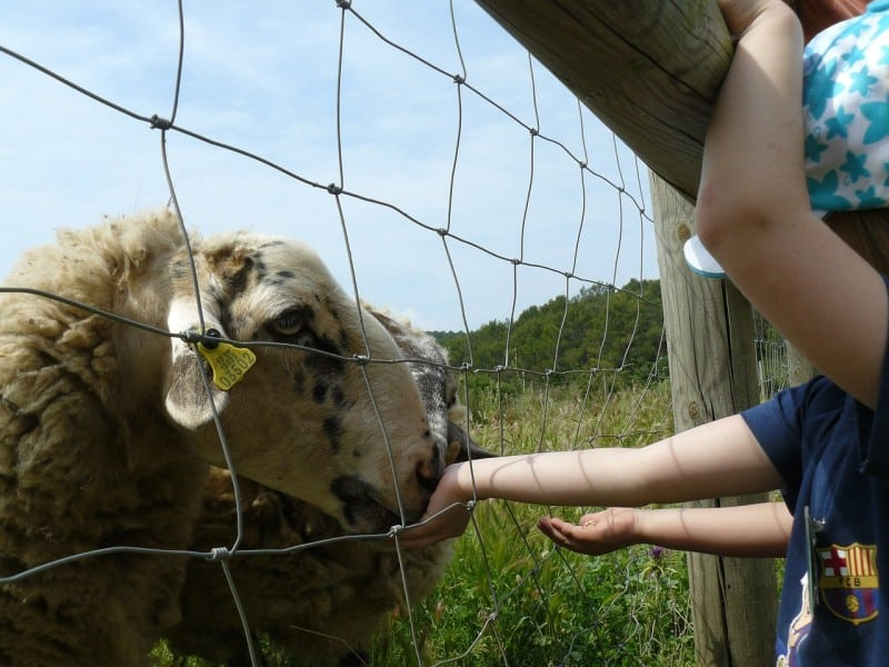 Children feed sheep