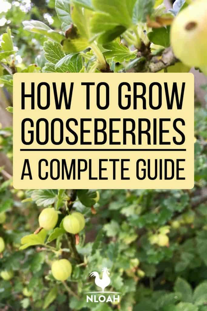 gooseberries pinterest