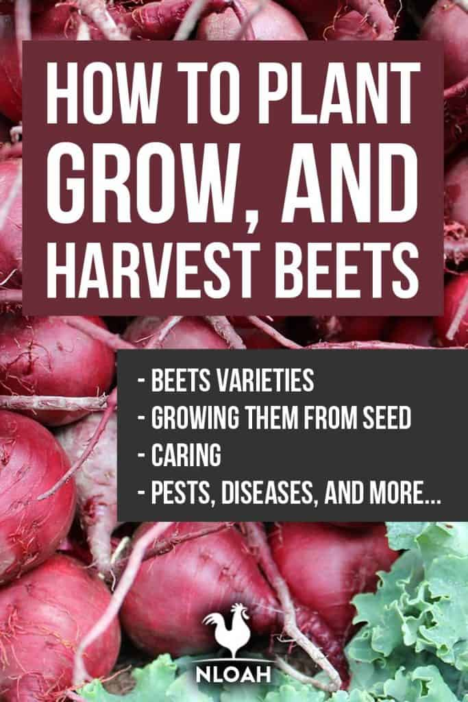 growing beetroots