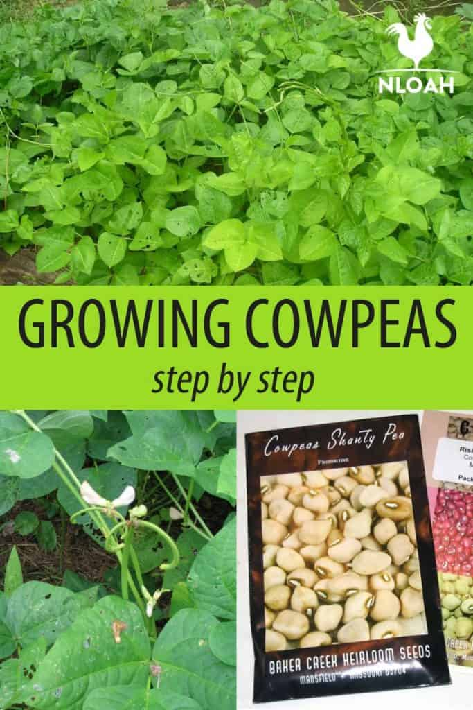 growing cowpeas