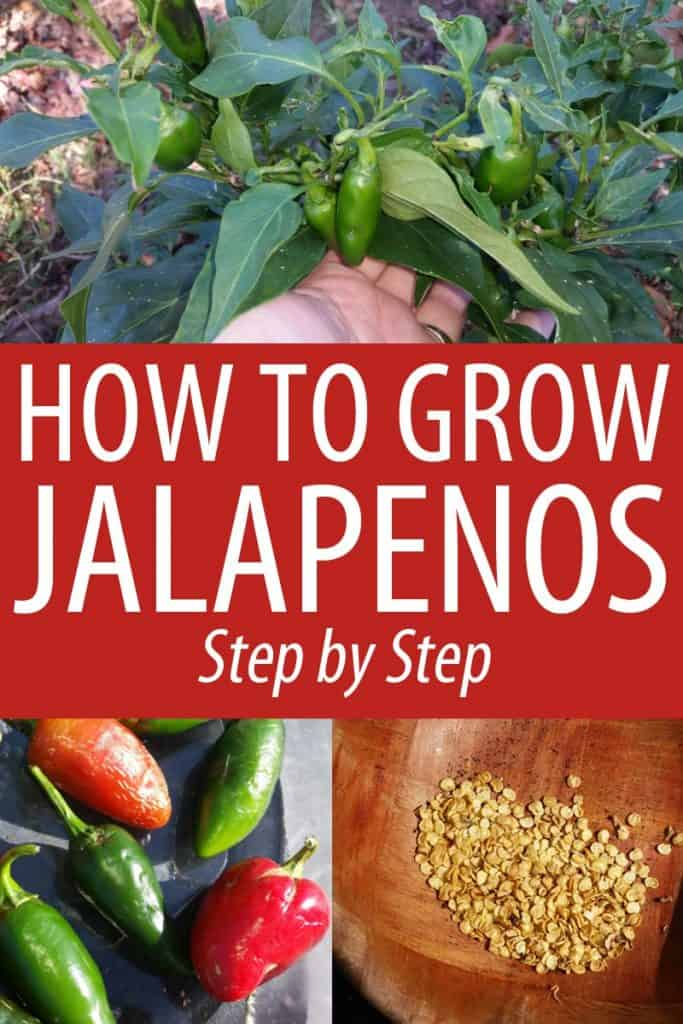 growing jalapenos Pinterest
