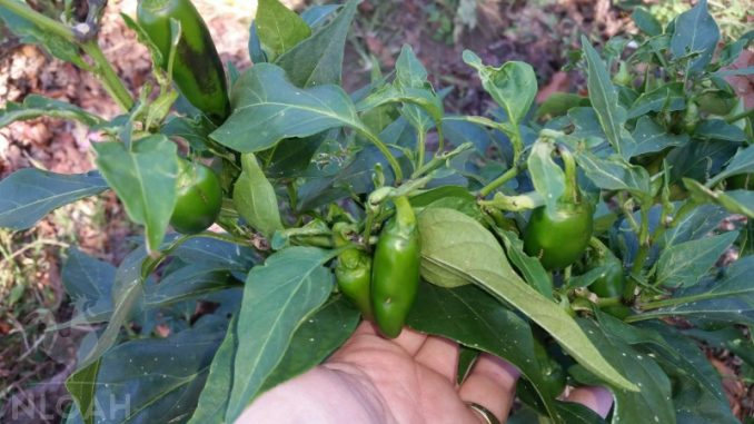 jalapeno pepper plant featured