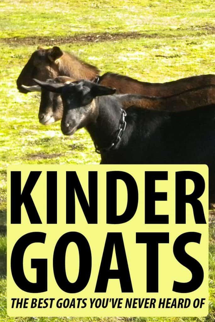 kinder goats pinterest