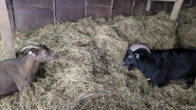 pygmy and nigerian goat eating hay