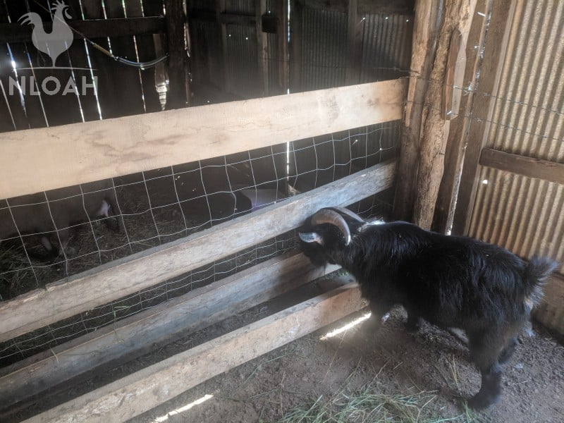 pygmy goat checking in on his kids