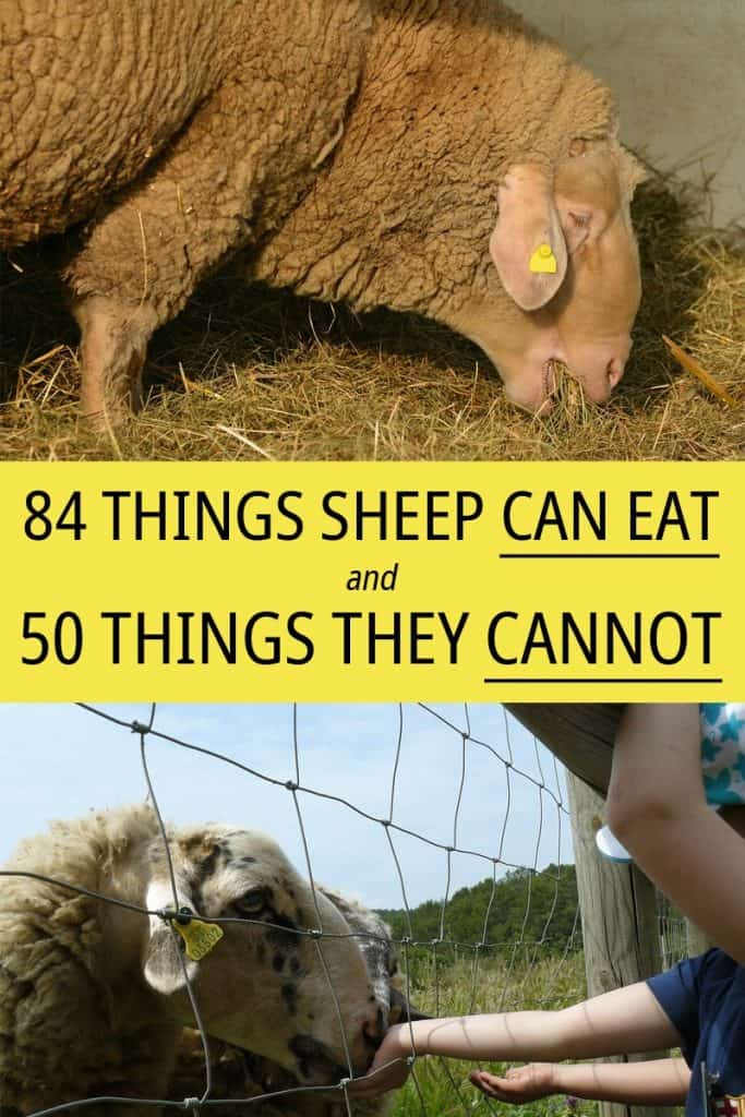 Things sheep can eat on Pinterest