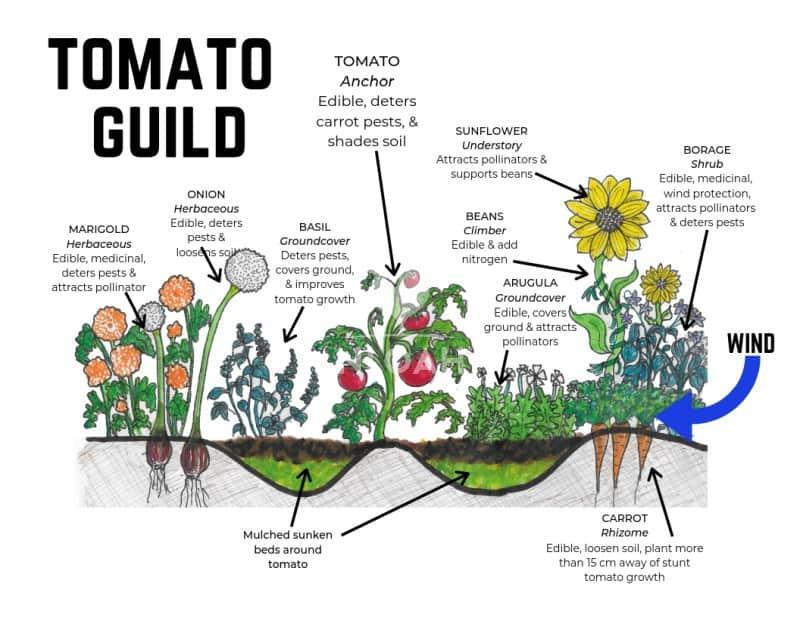 tomato guild