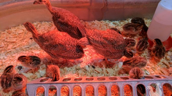 baby chicks and guineas near heat lamp