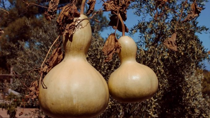bottle gourds