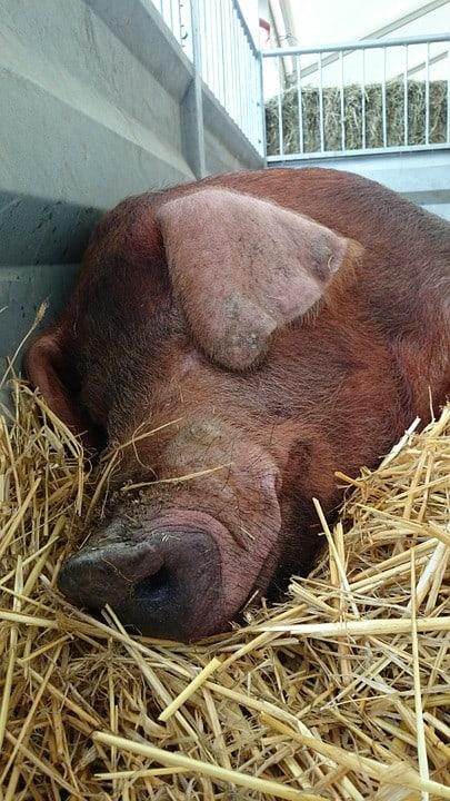 Le porc Duroc