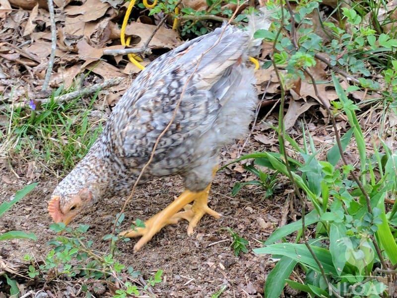 free-ranging chicken