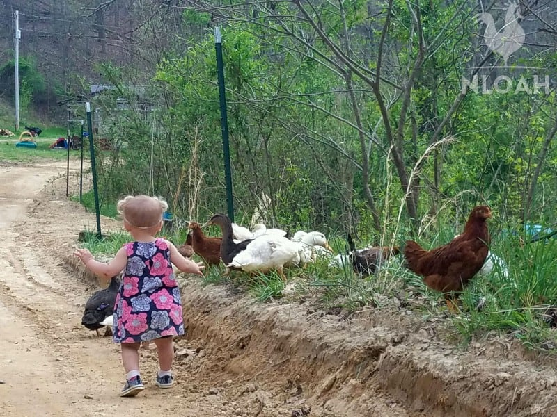girl chasing ducks and chickens