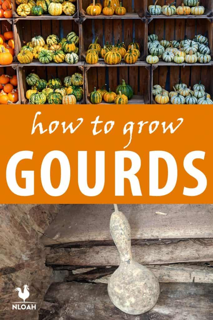 how to grow gourds Pinterest