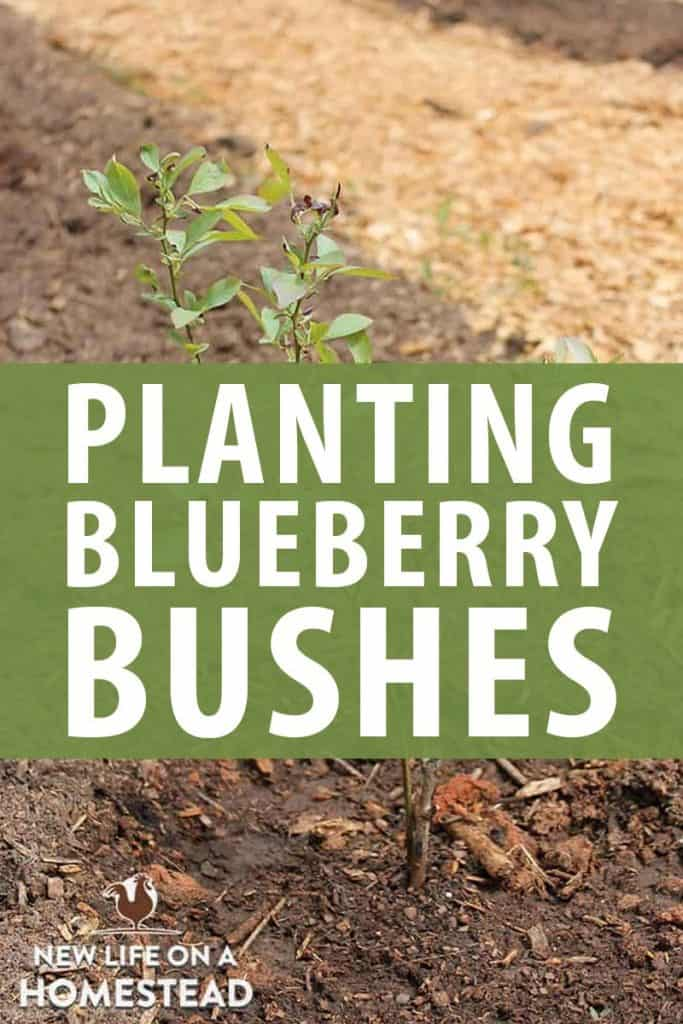planting blueberry bushes pinterest