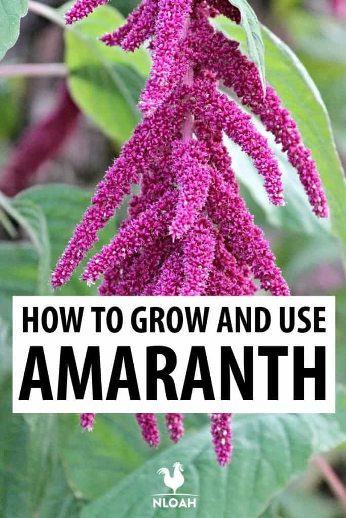 growing amaranth pinterest pic